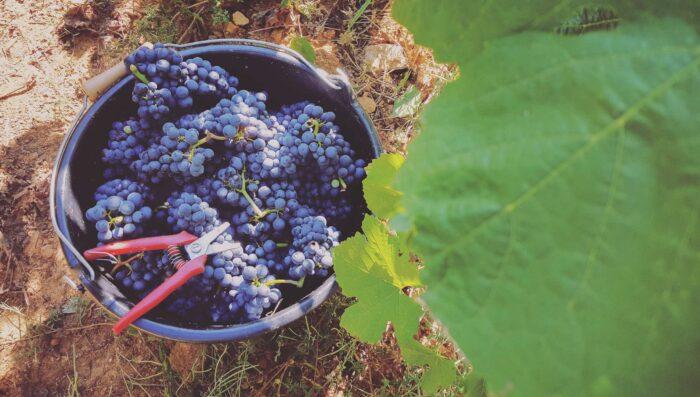 grape harvest in burgundy france