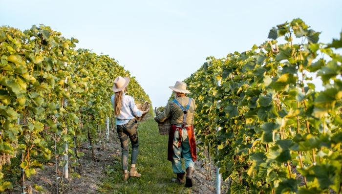 two poeple in ludon-medoc vineyards, france