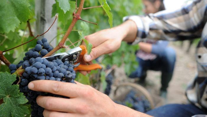 Men cutting grape for wine in vineyard