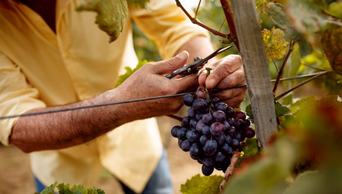 person cutting grapes from vineyard