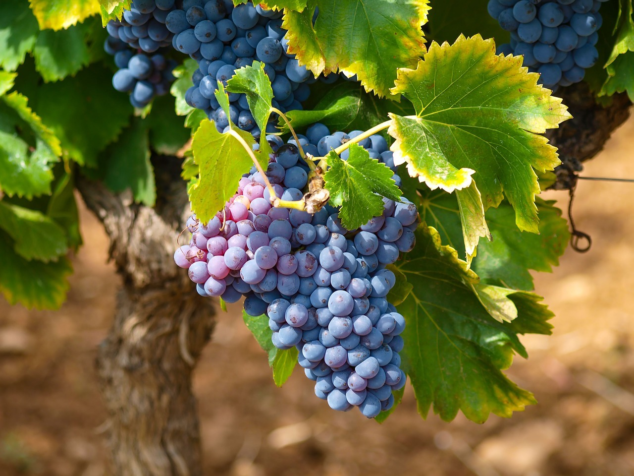 2021 grape harvest in france